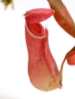 "Nepenthes albomarginata ""Red"" Gunung Jerai,Malaysia"