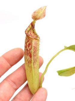 Nepenthes maxima   Tentena