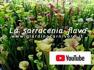 Sarracenia Flava at the enr of may 2020